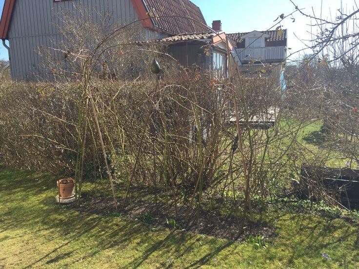 Plantera helvita påskliljor