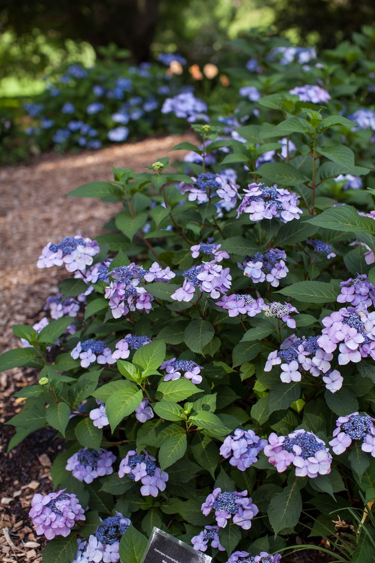 Twist-n-Shout Hydrangea #flowers on both old and new growth all summer long. Gorgeous blossoms of #pink or periwinkle #blue, depending upon your soil type, encircle the abundant blooms that feature a lacy deep-pink center.