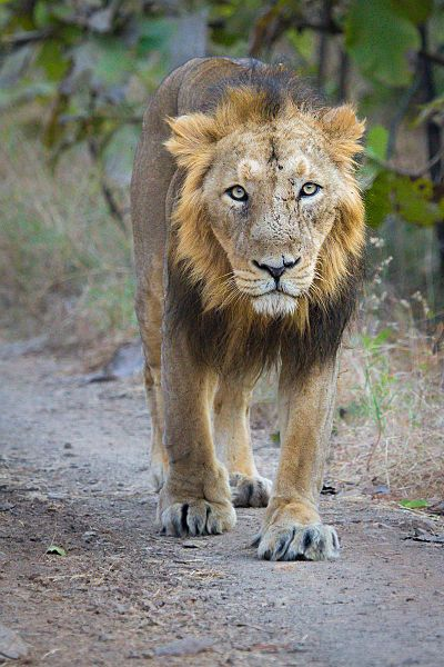 Adult Male Asiatic Lion (Panthera leo persica) at Gir Forest National Park, India.