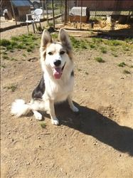 Tasha is an adoptable Border Collie Dog in Nanaimo, BC. Tasha is an energetic happy dog. She has only been at the shelter for a couple weeks, and so far we've noticed that she gets along well with som...