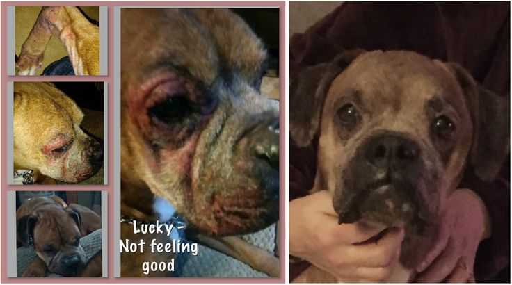 Lucky was surrendered by his owner surrender. They were not financially able to continue to take care of his medical needs so they reached out to us. They made a great decision because this boy is going to be treated like a king and get all healthy before he is adopted. He came to Great Lakes Boxer Rescue with a really bad skin infection and was heartworm positive...