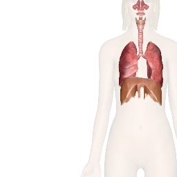 12 best gcse pe respiratory system images on pinterest human the human respiratory system explore anatomy of the upper and lower respiratory tracts from nasal passages to the lungs using interactive diagrams ccuart Choice Image