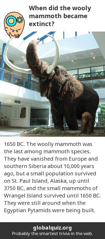 When did the wooly mammoth became extinct? 1650 BC! The woolly mammoth was the last among mammoth species. They have vanished from Europe and southern Siberia about 10,000 years ago, but a small population survived on St. Paul Island, Alaska, up until 3750 BC, and the small mammoths of Wrangel Island survived until 1650 BC. They were still around when the Egyptian Pytamids were being built.