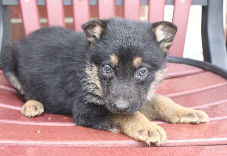 Deborah akc german shepherd puppy for sale at new haven