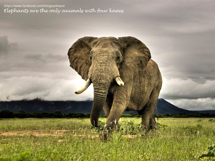 Elephants are the only animals with four knees.