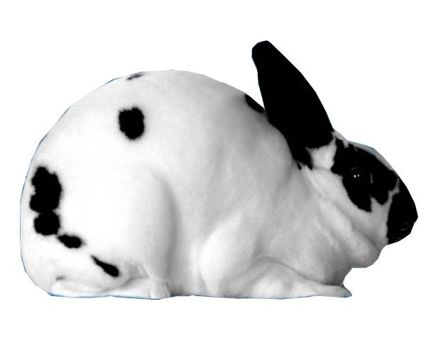 1000+ images about Mini Rex Bunnies on Pinterest | Poster ...