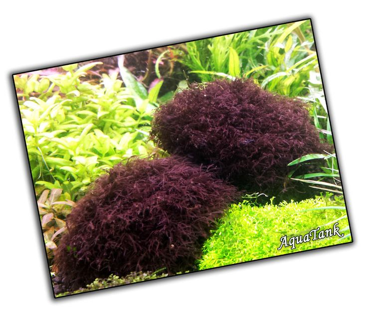 40 best images about moss on pinterest for Red algae in fish tank