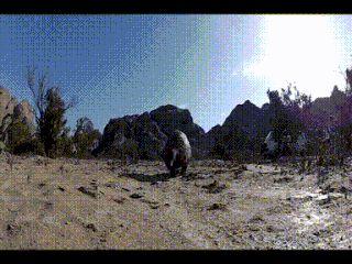 Watch a pangolin walk around and you can't help but imagine them as tiny mammalian theropod dinosaurs.