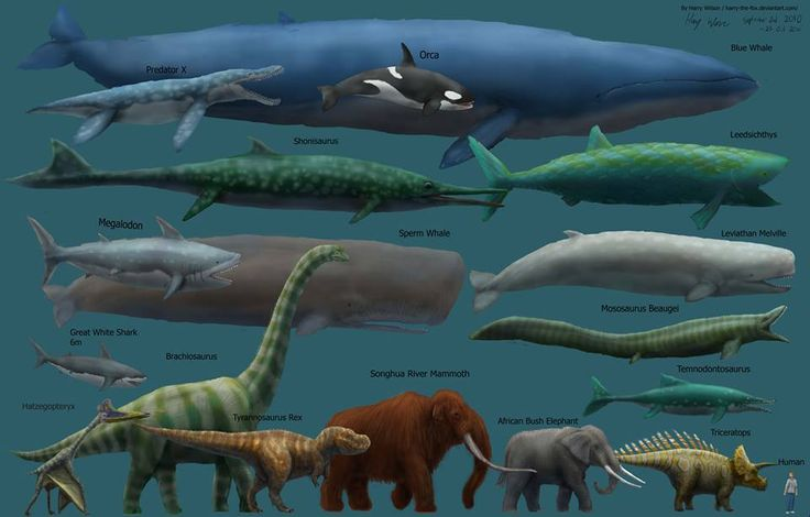 The blue whale is not only the largest animal alive currently, but is likely the largest animal ever to have lived.Depending on the location, blue whales can grow to be 33 meters (108 feet) and weigh as much as 181 metric tons (200 imperial tons).They can live to be 90 years old and ingest about 3.6 metric tons (4 imperial tons) of krill each day. Blue whale are considered endangered by the IUCN. More info: http://1.usa.gov/13eRd10Photo via: Harry Wilson