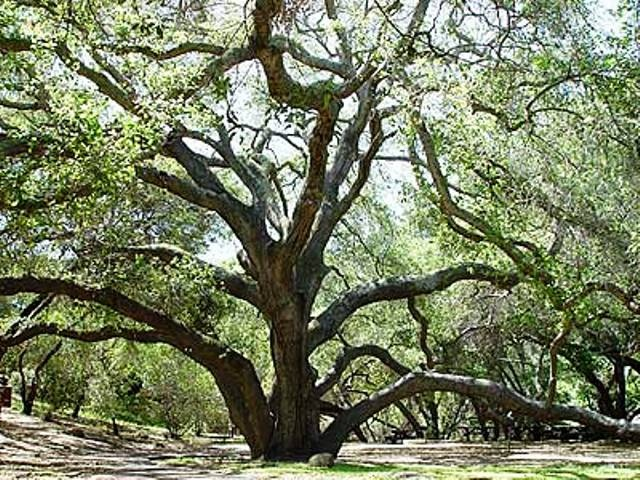 Get Married Amongst The Oldest And Most Majestic Oak Trees In San Go County Visit