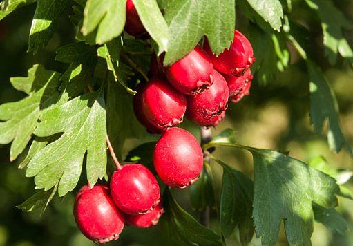 plody hlohu jsou krásné i jedlé