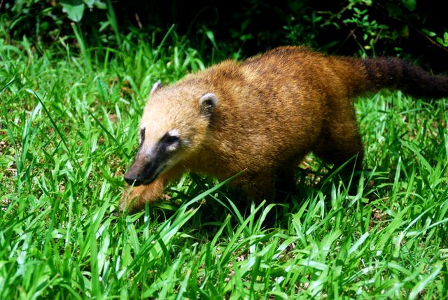 Day 123: Coati, Macucu nature trail, Iguazu falls National Park (Argentina)