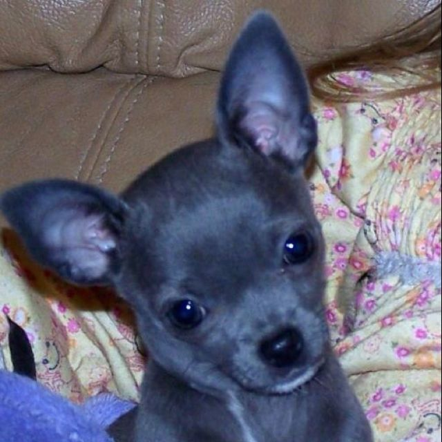 Blue chihuahua...... Looks exactly like my little Chubbs!