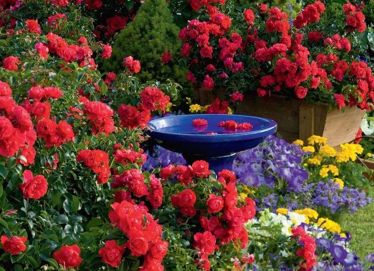 Best Flower Carpet Scarlet Groundcover Rose Images On Pinterest