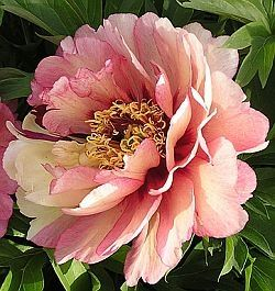 Future Fall Flower: Peony. Beautiful foliage, large blooms and a bounty of stunning colors like this Itoh Peony.