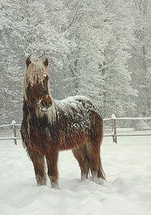 cavalo da islandia