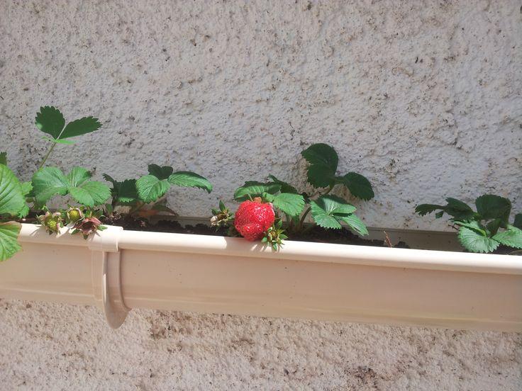 plantation fraisiers dans une goutti re contre le murs de. Black Bedroom Furniture Sets. Home Design Ideas