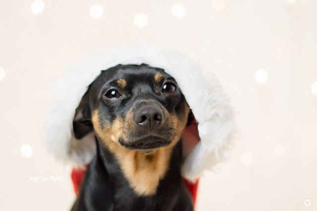 Pinscher Buddy is ready for christmas  © Melody M. Bayer Fotografie   BUDDY&ME