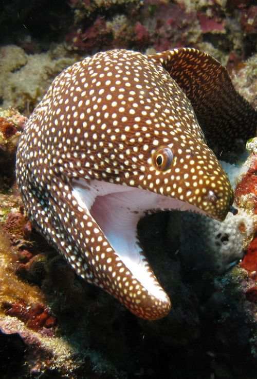 Moray Eel . . okay, can't resist: ♫♫ When the moon hits your eye like a big pizza pie, that's amore ♫♪♫ Yep...That's A Moray!