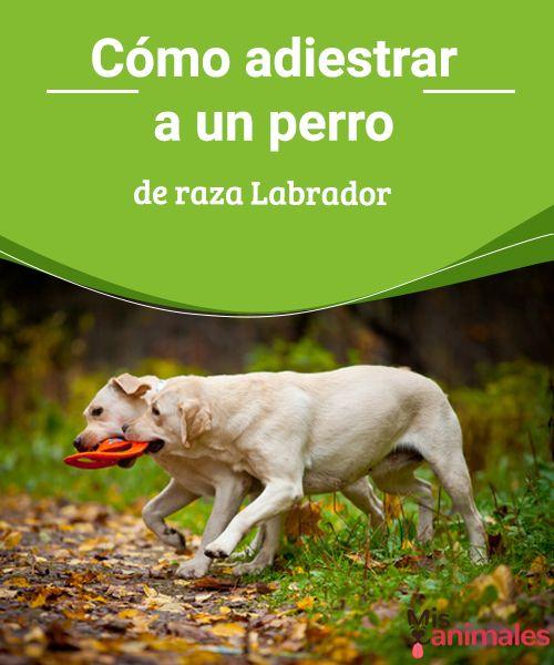 Cómo adiestrar a un perro de raza Labrador - Mis animales  Todos los perros necesitan educación. Sin embargo, hay trucos que te pueden ayudar según la raza. Mira como adiestrar a un perro de raza labrador.