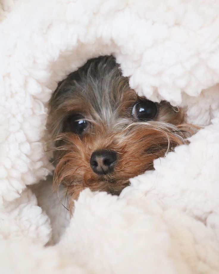 Yorkshire Terrier Peek A Boo Follow Us For The Cutest Puppy