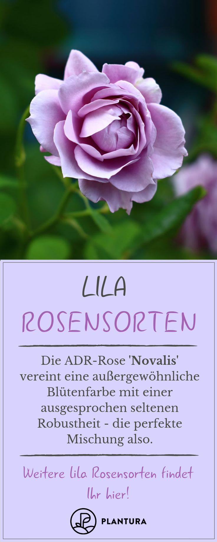 Lila Rosen: Die 5 schönsten Rosensorten von fliederfarben bis violett