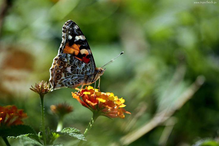 Kolorowy, Motyl, Rusałka, Osetnik, Kwiat