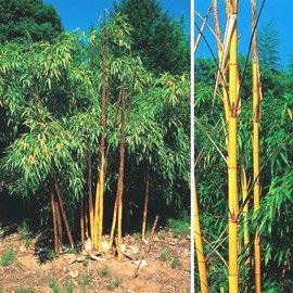 Bambou géant : Phyllostachys vivax  'Aureocaulis'