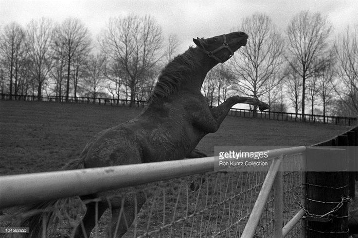 Secretariat appears to be enjoying retirement from racing on April 21, 1976 at Claiborne Farms in Paris, Kentucky. Secretariat won the horse racing Triple Crown (Kentucky Derby, Preakness Stakes, Belmont Stakes) in 1973 and set a track record of 1:59 2/5 for the 1 1/4 mile Kentucky Derby. Secretariat also ran each quarter mile of the Kentucky Derby faster than the previous one, meaning he was still accelerating as he finished. Secretariat's stud fees range up to $100,000.