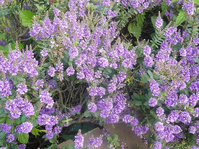 'Purple Picture' Hebe shrub