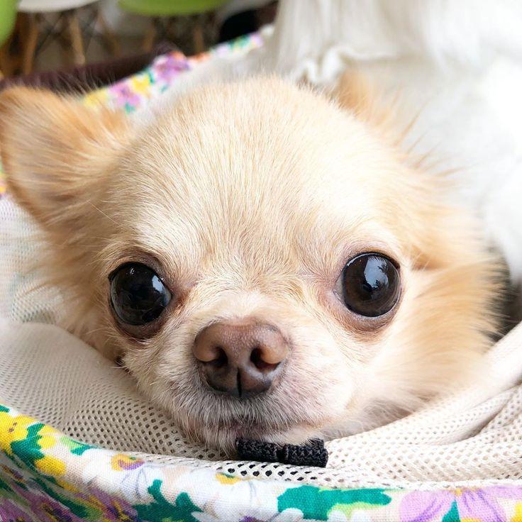 Chihuahua puppies chihuahua funny chihuahua clothes
