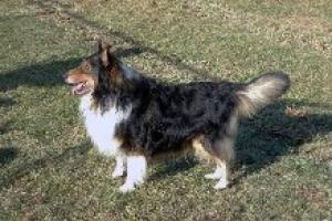 Monty (Ottawa) is an adoptable Shetland Sheepdog Sheltie Dog in Toronto, ON.  MONTY is a lively, tricolour male Sheltiewho came in to rescue as a stray. He is 3 or 4 years old with a lovely tempera...