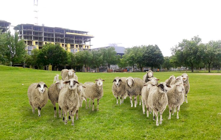 Rosemont borough has plans to deploy sheep in the Parc du Pélican and put some kind of fish and farming gizmo on Place Shamrock this summer.
