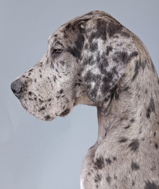 10 Cool Facts About Great Danes - Dogs Tips & Advice | mom.me