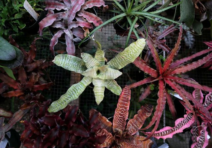 """John and Mary Edmonson grow a variety of bromeliads, including Cryptanthus, or """"Earth Stars,"""" and  """"Ice Berg"""" in their Houston greenhouse."""