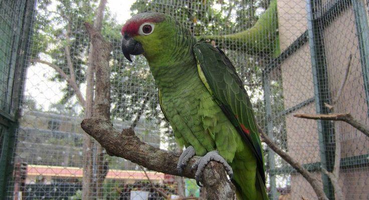 Expedición de científicos británicos busca conocer el comportamiento del loro frentirrojo (Amazona lilacina), presente en #Ecuador: http://www.eluniverso.com/vida-estilo/2014/01/26/nota/2083786/frentirrojo-atrae-britanicos