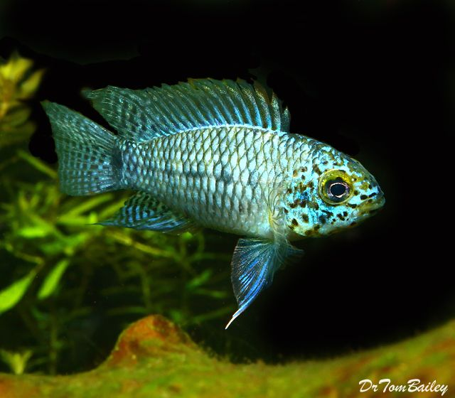 17 Best Images About Dwarf Cichlids On Pinterest