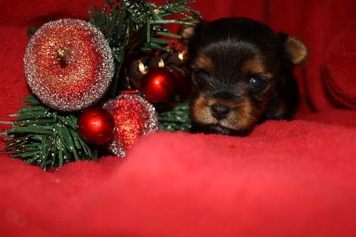 Litter of 3 Yorkshire Terrier puppies for sale in PLANT CITY, FL. ADN-52671 on PuppyFinder.com Gender: Female. Age: 3 Weeks Old