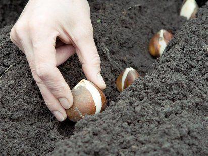 Plantar bulbos de flores de un modo natural
