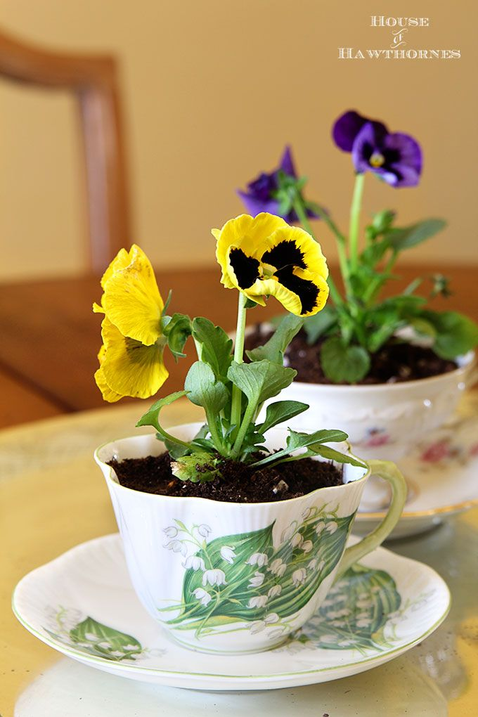 teacup pansies