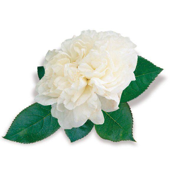 Róża pnąca biała - Rosa 'Nevada'