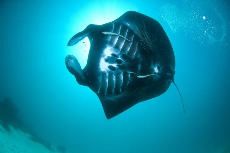 Il governo indonesiano ha capitolato e ha dichiarato l'Indonesia santuario delle mante giganti. Sono scattate in questi giorni tutte le precauzioni per proteggere questa straordinaria specie, in via di estinzione, che popola le acque dell'oceano Indiano. Dopo decenni in cui sono sempre state cattura