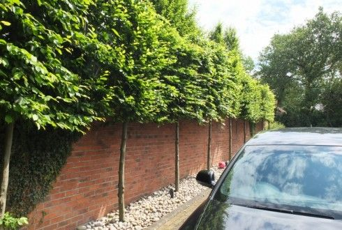 Instant Hedge - Pleached Tree Screen | Garden Projects - Tree Screening