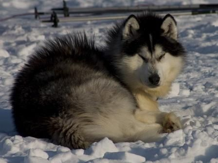 best images and photos about canadian eskimo inuit dog - dogs that look like wolves