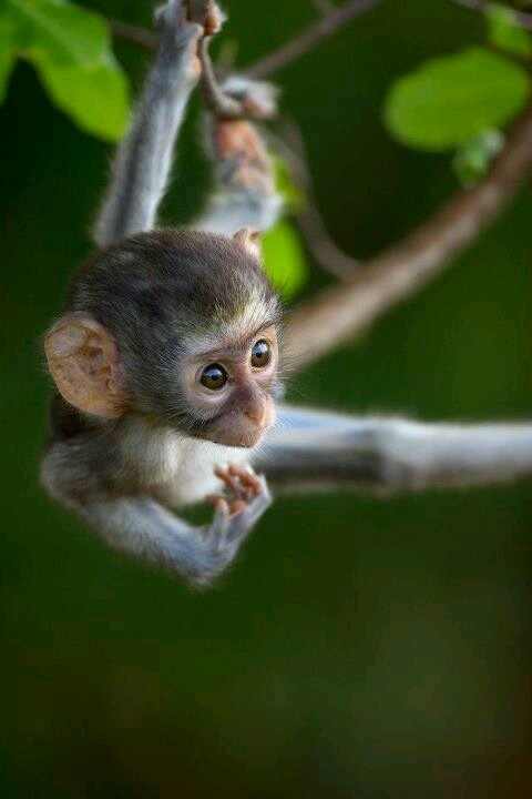 38 Best Images About Cute Baby Monkeys On Pinterest Pets