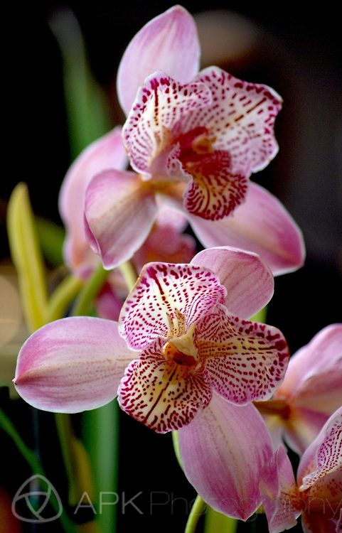 Exotic Pink Orchid by Allison Kendall