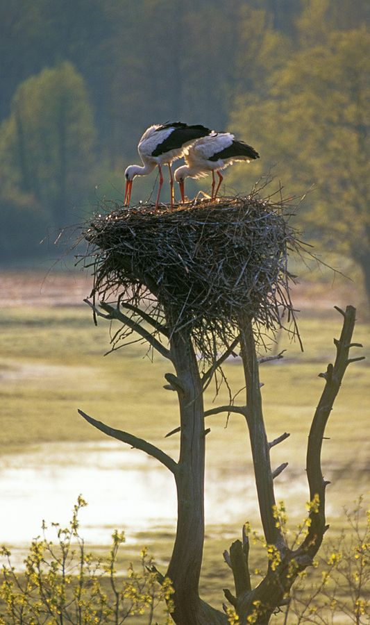 A white stork pair places branches in the nest in anticipation of the clutch to arrive at the end of May.   Chuhrai, Bryansk province, Russia.   by Igor Shpilenok