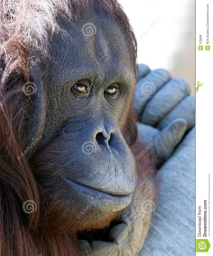 Orangutan Or Ape Chilling In The Sun Looking Unhappy Royalty Free Stock Photos - Image: 123698