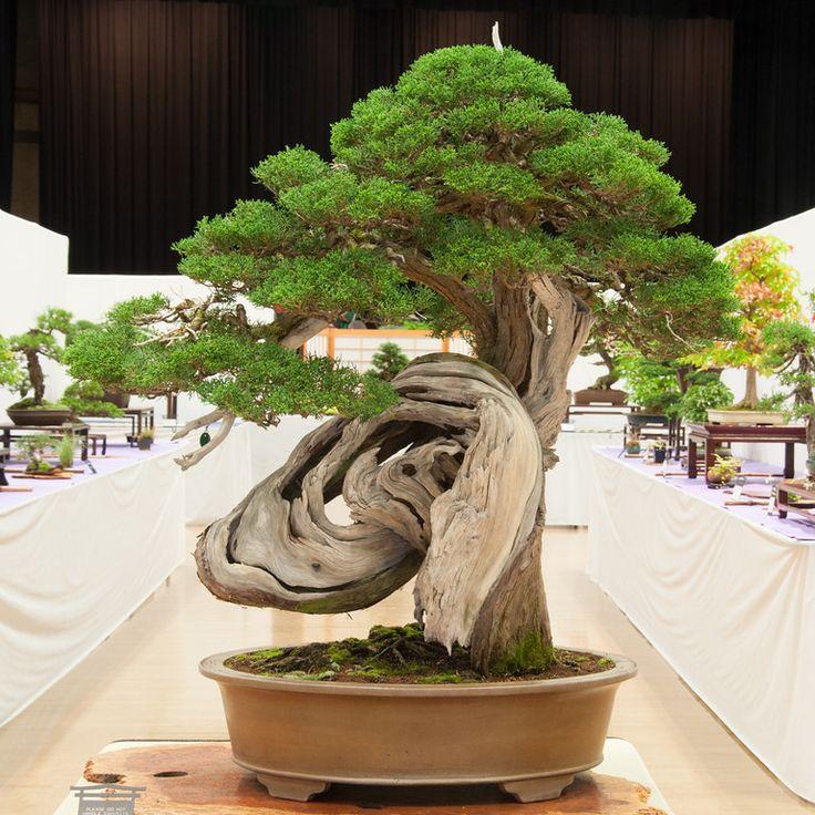 Juniper ~ Bonsai