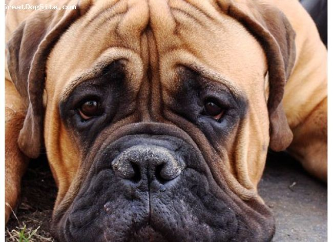 bull mastiff fawns | Bullmastiff, 12 mos, Red Fawn, Lucius with his puppy face!!